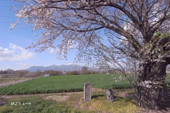 桜風景.jpg