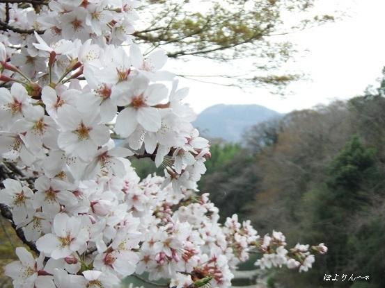 桜〜〜〜♪.jpg