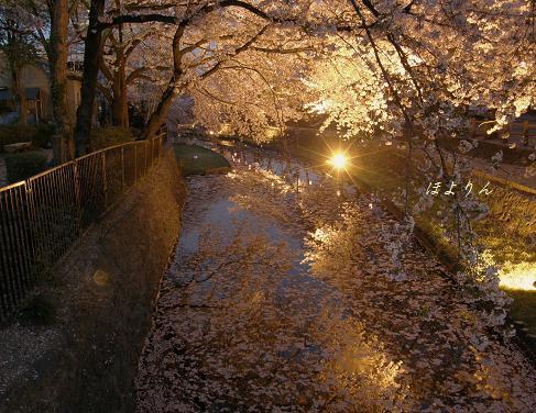 夜桜散歩.jpg