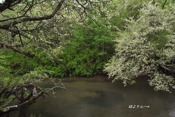 ズミが咲く水辺.jpg