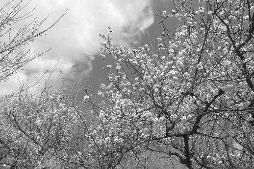 咲き誇る梅.jpg