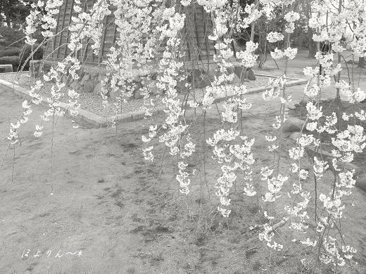桜すだれ〜.jpg
