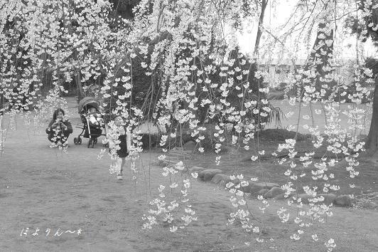 桜のカーテン〜.jpg