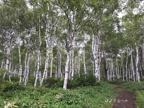 白樺林の小路.jpg