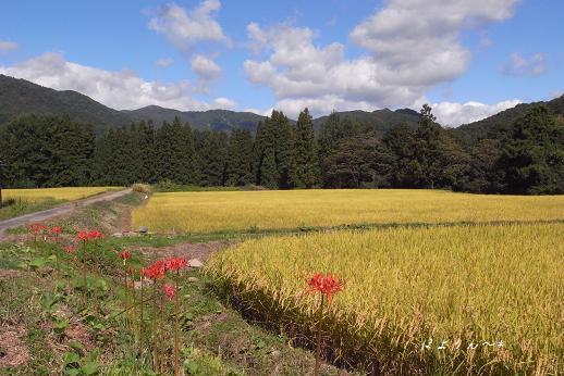 稲田の傍らに咲く彼岸花.jpg