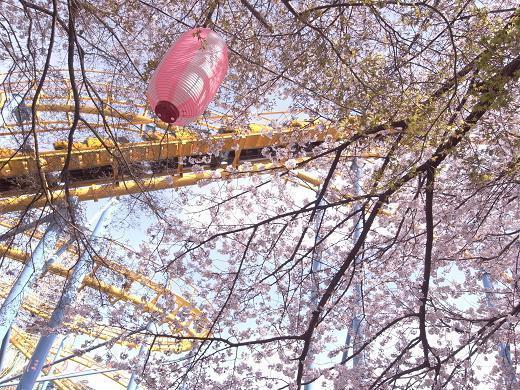 見上げた先の桜風景.jpg
